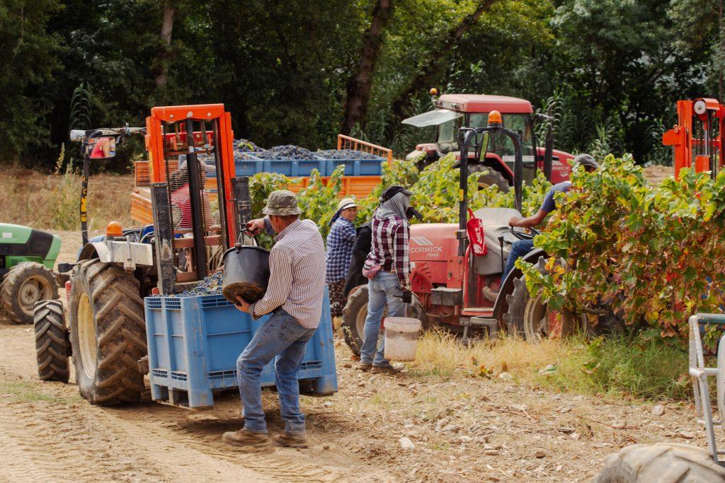 Vindimas 2021   Quinta dos Castelares